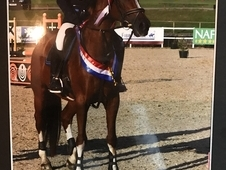 16. 1hh KWPN Mare For Loan