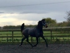 Top quality 7 yo, 17hh broodmare by Carl Hesters