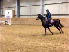 14. 3. h British Riding Pony age 10 Dark Bay gelding