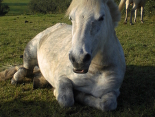 11. 3 Dartmoor x Grey mare