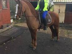 15.2 Chestnut Welsh Cob X,  Lovely Boy For Sale