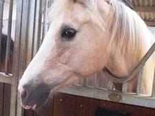 Pretty 14hh Palomino WElsh x Arab Mare