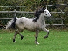 Stunning Registered Welsh Section D Silver Dun / Buckskin Filly to make 15hh