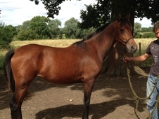 kwpn x hungarian warmblood