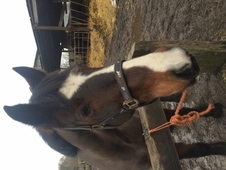 Pretty bay cob mare all rounder