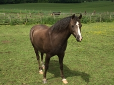 Beautiful Well Bred Welsh B Project Pony