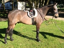 14. 3/15hh Riding Club/Mother daughter share