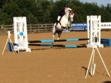 15. 1hh Welsh x Andalusian mare, 8 years old