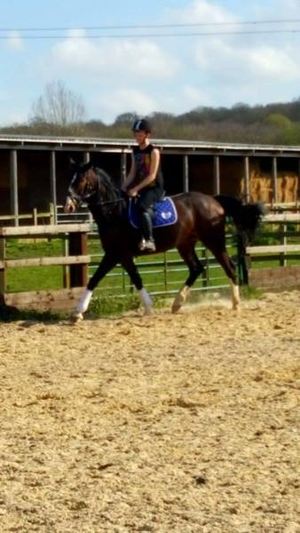 warmblood gelding for sale