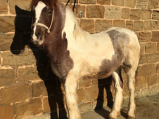 Quality skewbald filly, (chestnut roan) born 1st May 2016 to make...