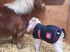 Beautiful Mini Shetland Mare & Filly Foal