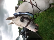 FANTASTIC LR 1ST OR 2ND PONY Beautiful Welsh Section A. 11. 2hh. ...
