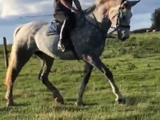 16.2 Irish bred grey mare 6 years old horse for sale