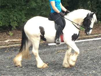 13.2hh, 4yr old, piebald, traditional cob mare.