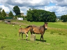 Beautiful Exmoor Type Mare & Foal