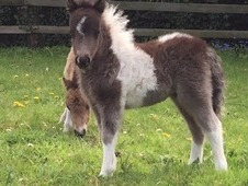 Very Special Miniature Shetland Yearling