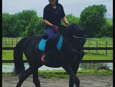 5years 17hh pure belgium warmblood potenital event horse