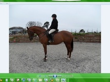 16hh Warmblood mare