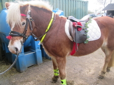 Full loan, 14.2hh haflinger for leisure