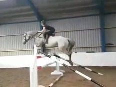 9 Yr Old Belgian Warmblood