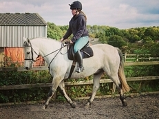 Super Sweet Connemara Gelding