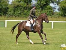 4yr Old Harlequin du Carel Eventer/Showjumper/Show horse for sale