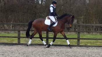 Potential Dressage or Eventer