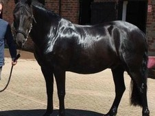 15. 3hh Black 6 year old Fresian X Welsh D gelding