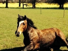 Part loan welsh cob Wakefield,West Yorkshire