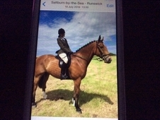 Genuine hunter type/alrounder 17hhtbx shire gelding for sale