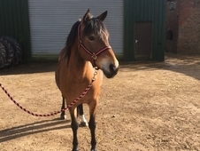 ***SOLD***lovely 13. 1hh 9 year old Mare