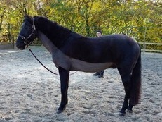 16hh handsome PRE (andalusian) looking for a fun hacking home