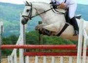 Full Connemara 15.1hh All-Rounder