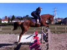 Talented showjumping mare - Heartbreaker lines