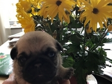 KC Reg Outstanding Pugs Ready 20th June