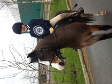 Welsh section A Bay Gelding with 4 white socks