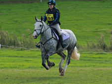 15hh Full Up Irish Sport Horse Mare