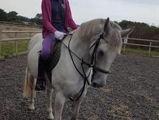 irish horses for sale essex
