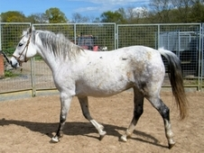 Lipizzaner Ride and Drive Mare 15hh