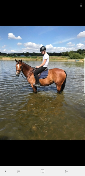 16hh 12Y/O Bay SJ/Dressage Mare For Sale