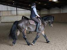 Handsome Welsh D Gelding