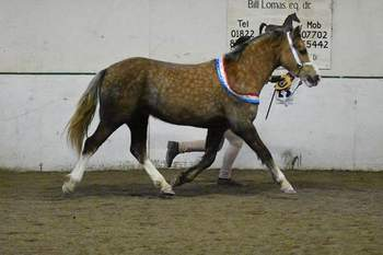 14.1 hh sooty paliomino mare