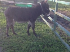 Kind Natured Well Handled Dark Bay Male Donkey