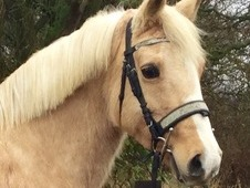 Ideal first horse or pony stunning allrounder