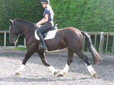 Potential Show Cob or riding club cob.