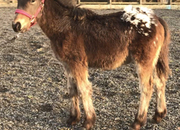 Appaloosa x Cob Filly Foal To Make 14..2 hh