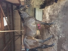 Eventer/ allrounder for sale