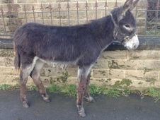 Maliky Bay Roan White Under Belly Lovely Young Male Donkey