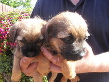 Beautiful Border Terrier Puppies