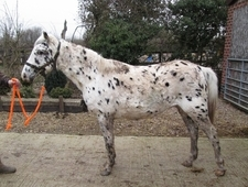 7 year old Appaloosa mare 13hands